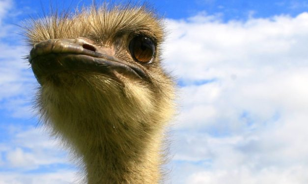 How to Survive an Ostrich Attack: Human Vs Bird