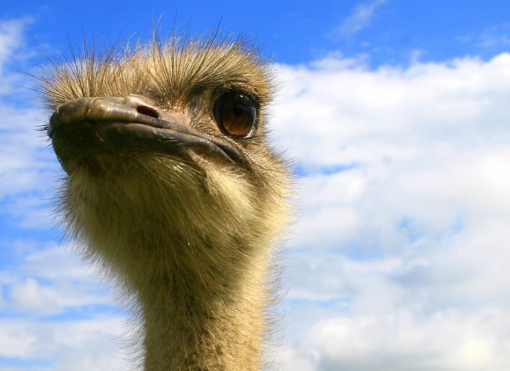 How to survive an ostrich attack on humans