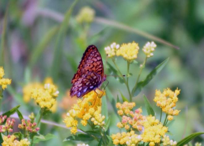 Butterfly along Grass River