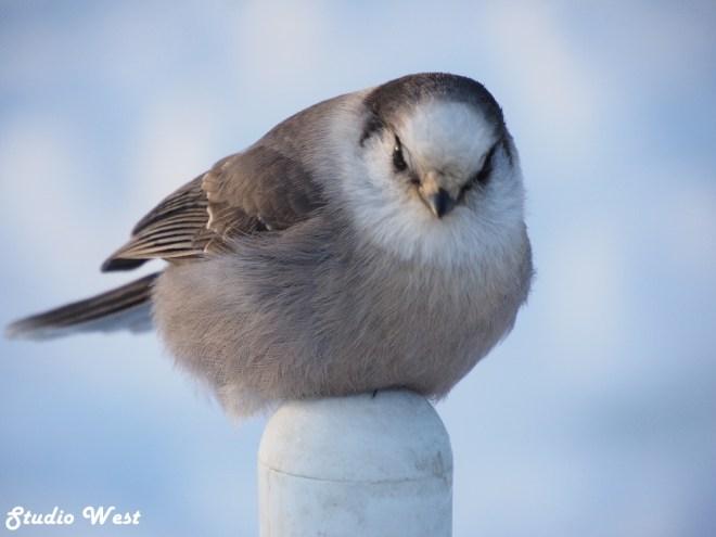 Prince Albert National Park Grey Jay