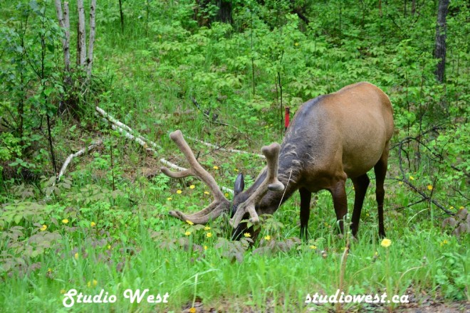 Elk CHP_1420