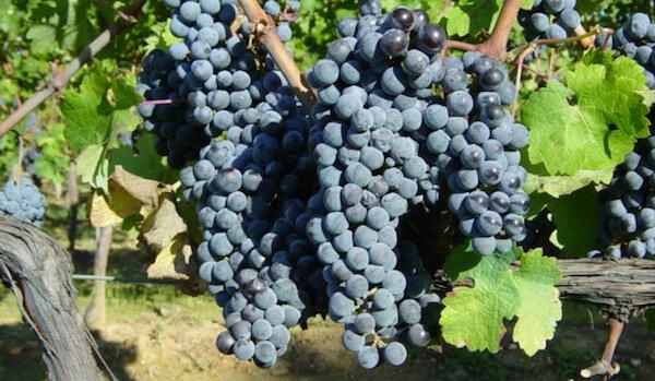 vitis-vinifera-studio-wina