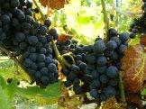 Winnica-Patria_grona2