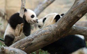giant-panda-artificial insemination