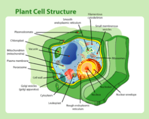 What are the Parts of a Plant Cell? | Study