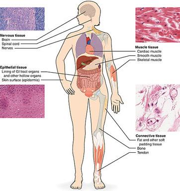 El tejido del cuerpo humano
