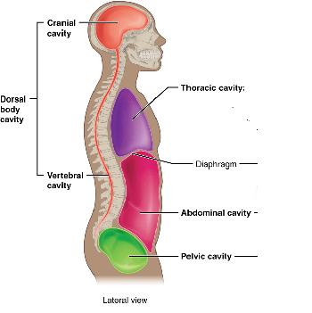 Dorsal Body Cavity: Definition, Organs & Membranes | Study.com