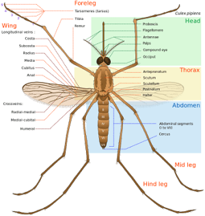 Mosquito: Structure & Life Cycle | Study
