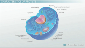 The Evolution of Protists: Importance & Evolutionary History  Video & Lesson Transcript | Study