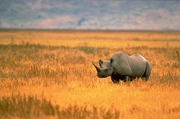 Why Are West African Black Rhinos Extinct