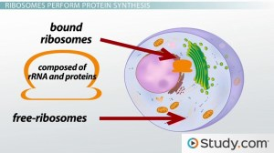 The Ribosome: Structure, Function and Location  Video