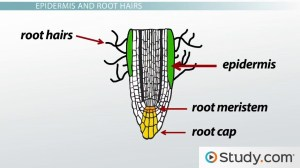 Primary Root Tissue, Root Hairs and the Plant Vascular