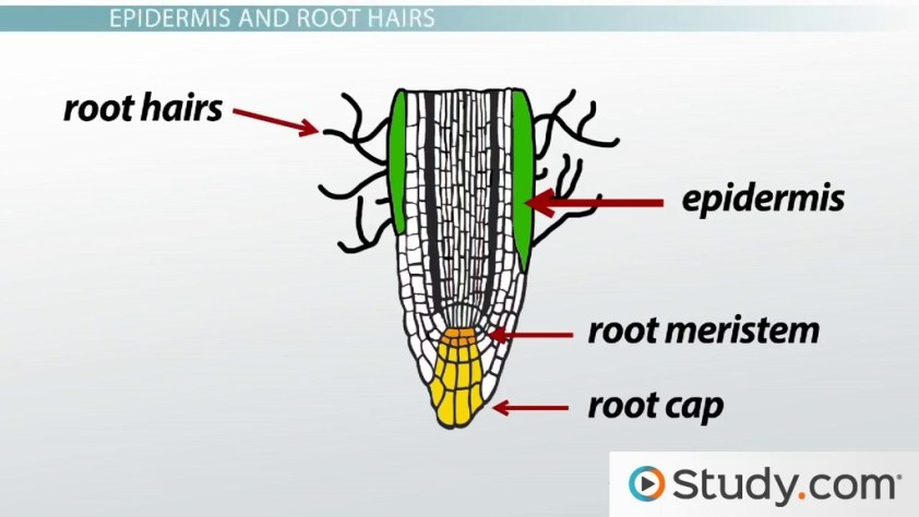 Primary Root Tissue, Root Hairs and the Plant Vascular ...