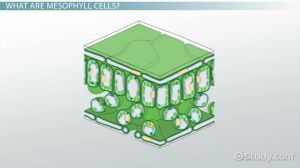 Mesophyll Cells: Function & Definition  Video & Lesson Transcript | Study