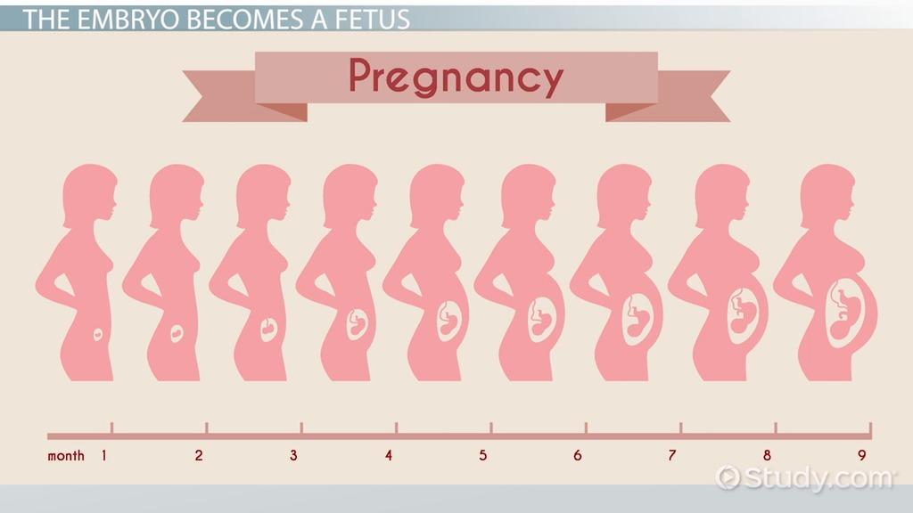 Pregnant 4 Fetus Size Months