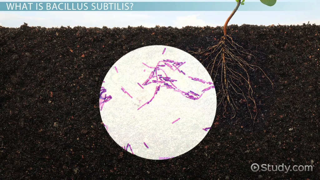 Stain Subtilis Gram Bacillus Morphology And