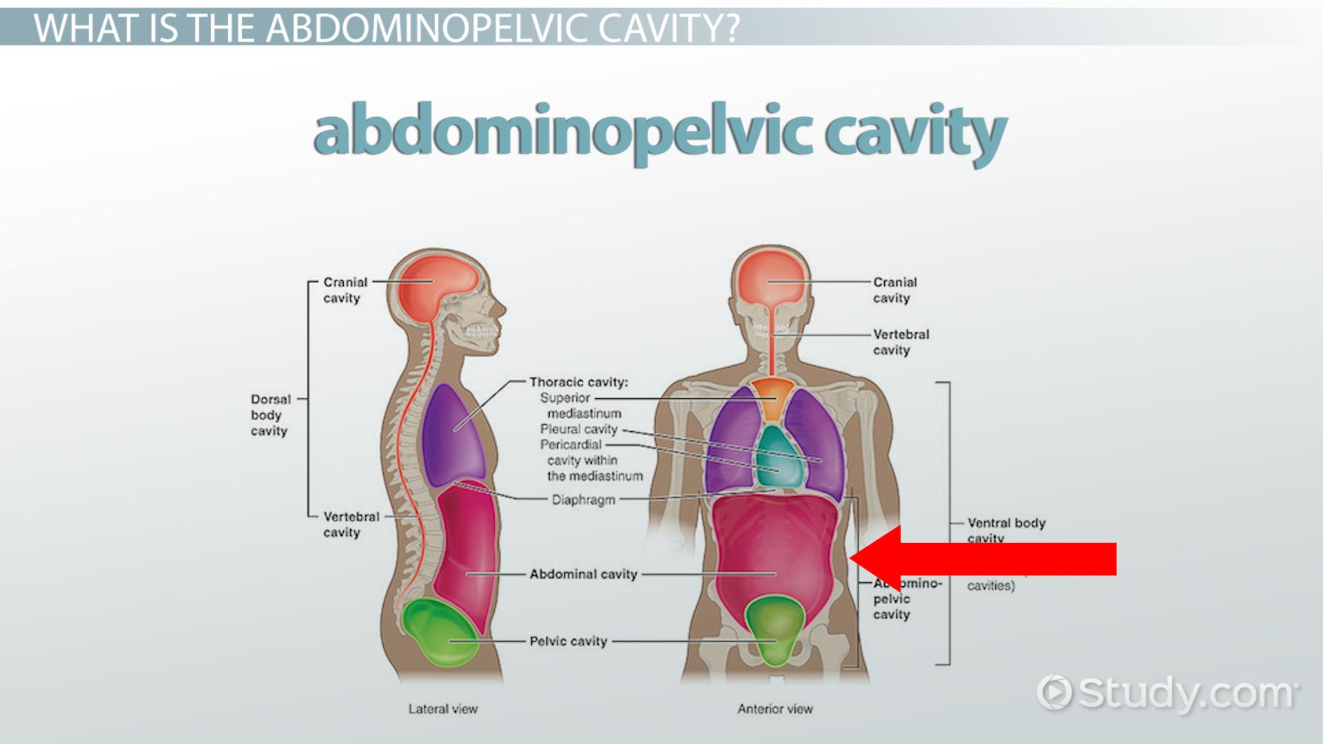Abdominopelvic Cavity Bony Landmarks Organs Amp Regions