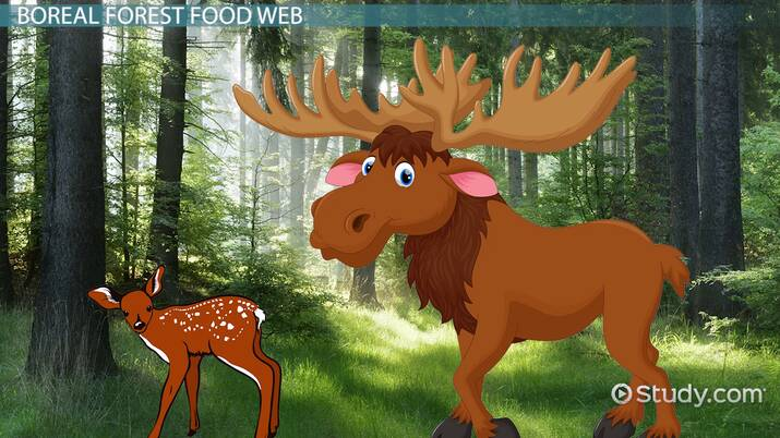 All organisms in all food chains would die. The Boreal Forest Food Web Video Lesson Transcript Study Com