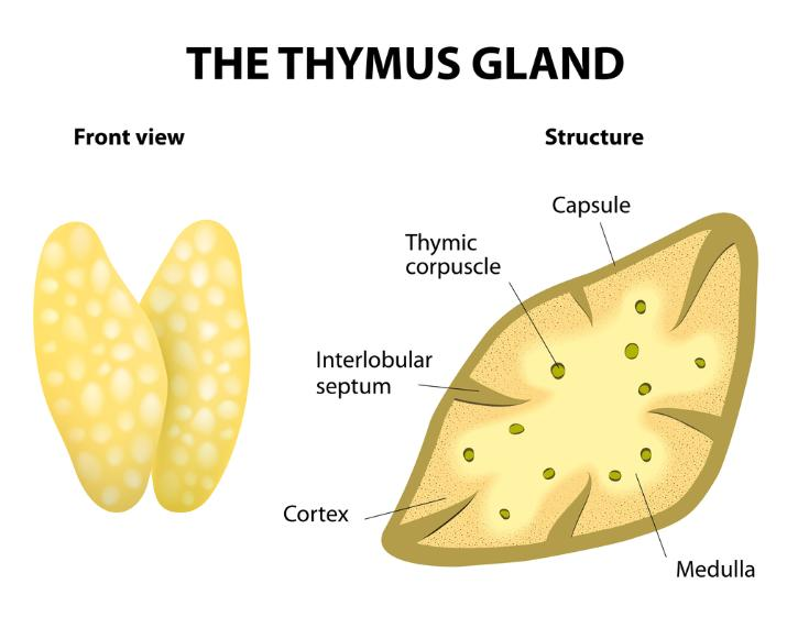 Thymus: Definition, Functions & Location - Video & Lesson ...