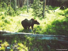 Young grizzly bear at the side of the road. Copyright Cornelia Kaufmann