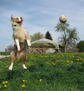 Australian shepherd dog at play