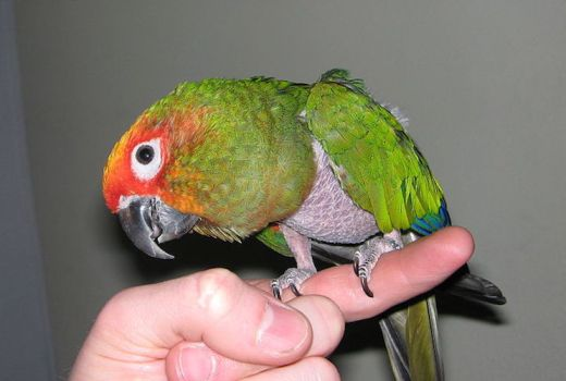 Feather pulling in parrots
