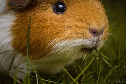 Hay is an essential guinea pig food