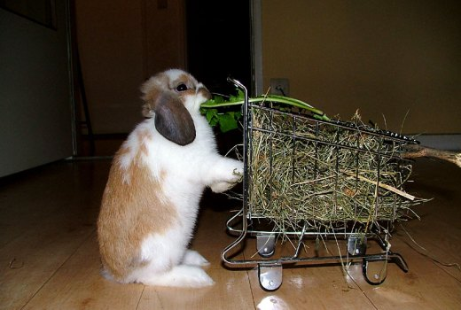 Rabbit hay should be freely available for pet rabbits