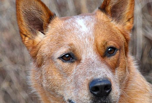 Dog grooming tips: how to clean a dog's ears