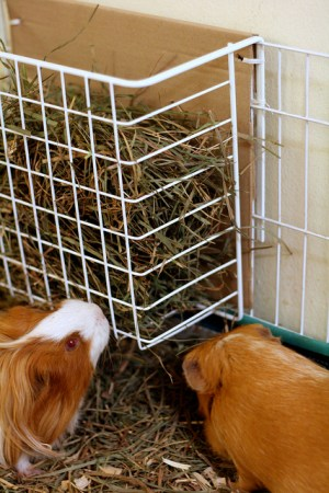 Timothy hay for guinea pigs