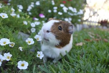 Hay for guinea pigs ensure a heathly pet guinea pig
