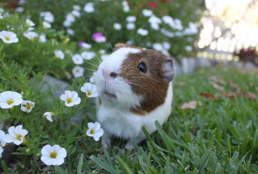 Hay for guinea pigs ensure a heathly pet guinea pig