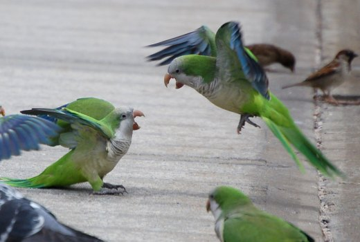 Bird behavior and social habits of monk parakeets