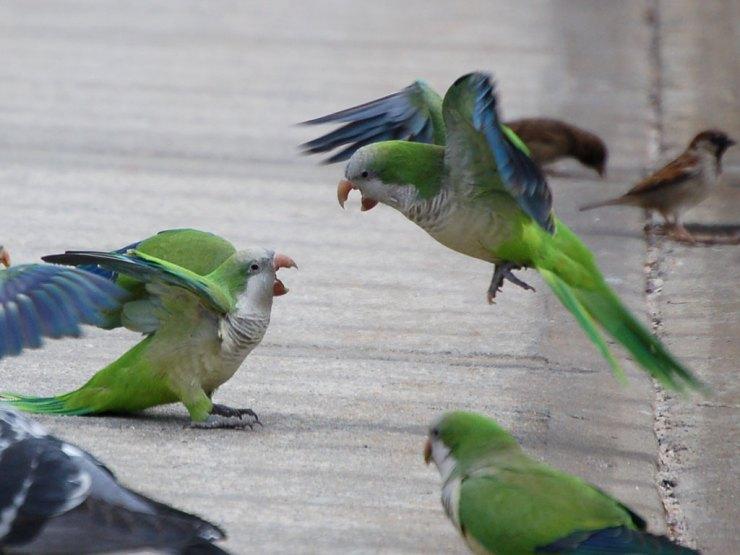 Bird behavior and social habits of monk parakeets
