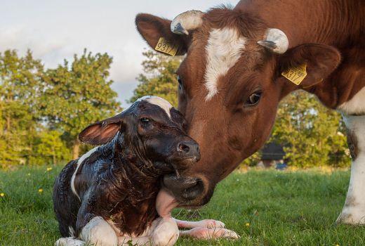 Raising Cattle 101