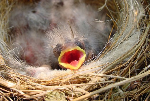 Breeding finches: Baby finch