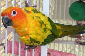 Sun conure bird rooms
