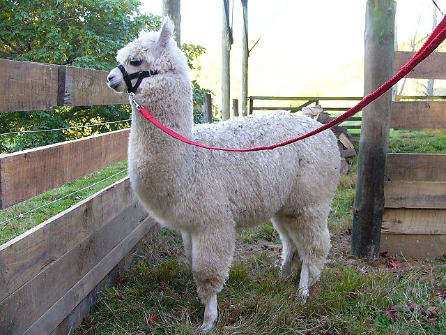 Raising alpacas for pets
