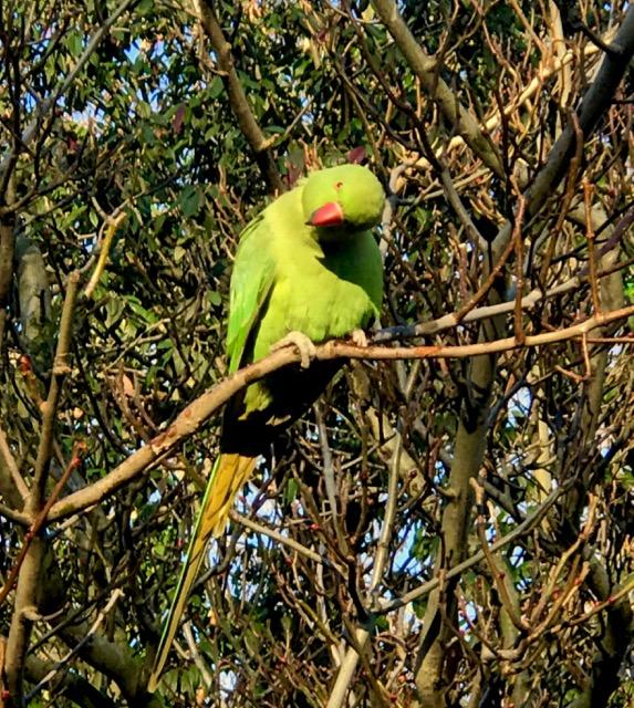rose ringed parakeet london