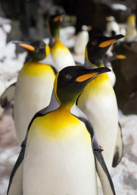 seaworld-penguin_King_vert (1)