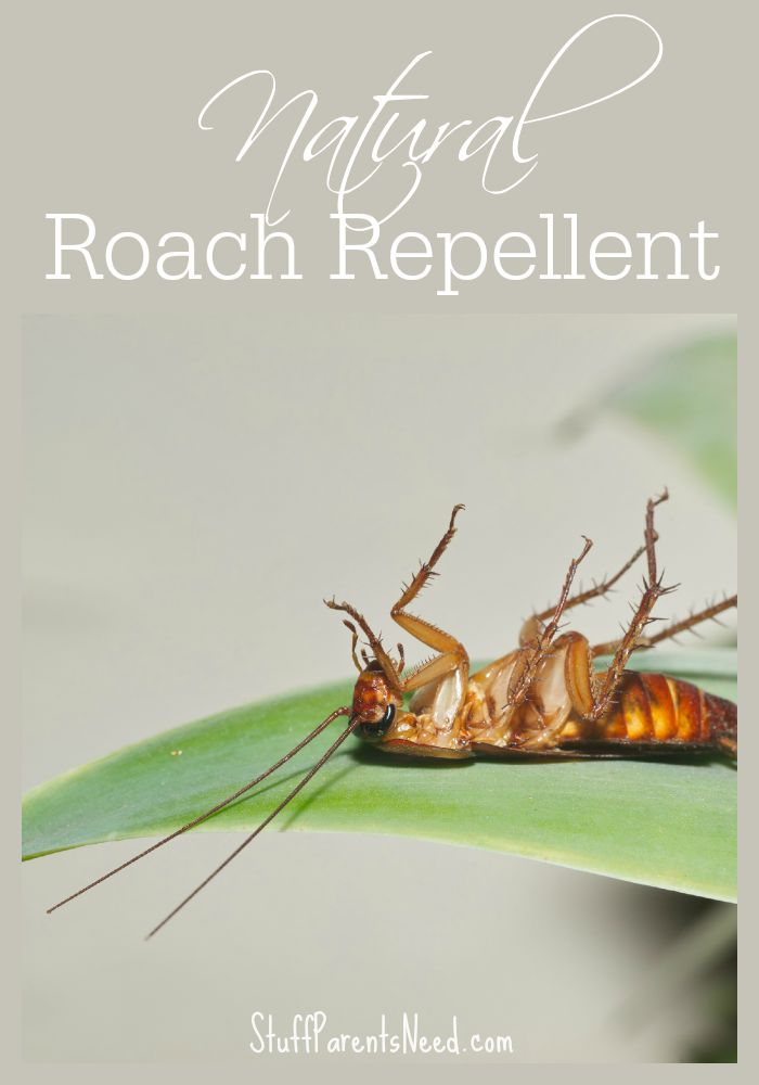 natural roach repellent