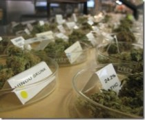 How Much Weed Can You Legally Possess in California?