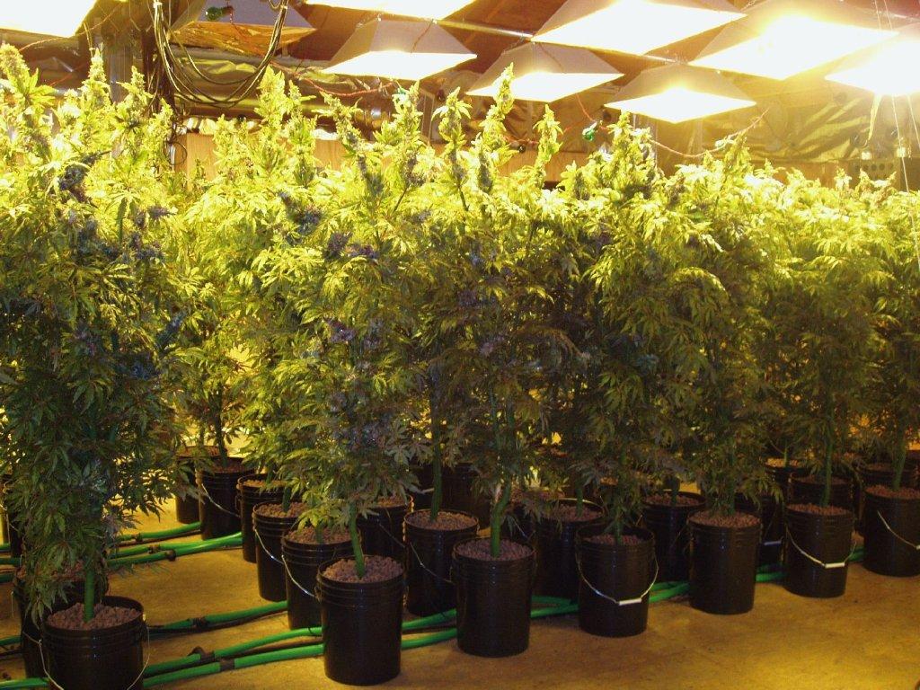 Grow a healthy marijuana plant