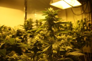 How long does it take to grow weed indoors