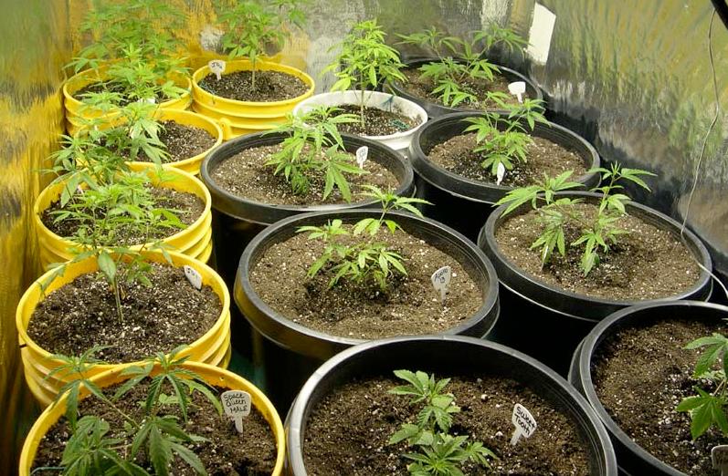 marijuana plant post transplant