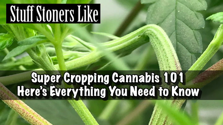 Super Cropping Cannabis 101 hero
