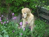 tulip lover #2