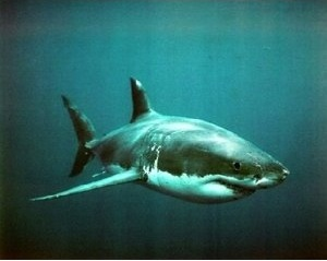 Great white shark photo poster