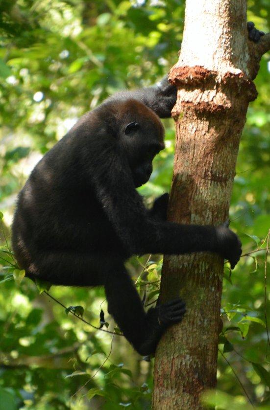 Loango Gorilla on the move