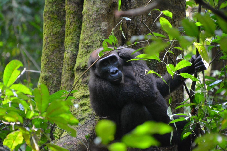 Gorilla, Loango NP, Gabon